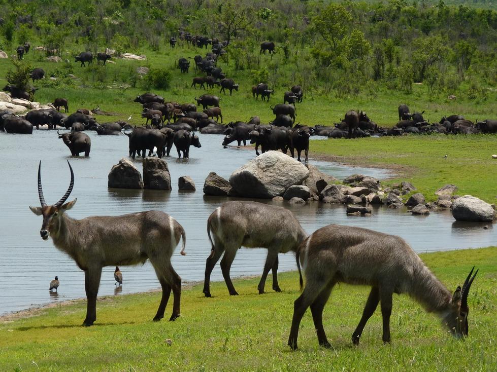 Park Kruger, animales bebiendo