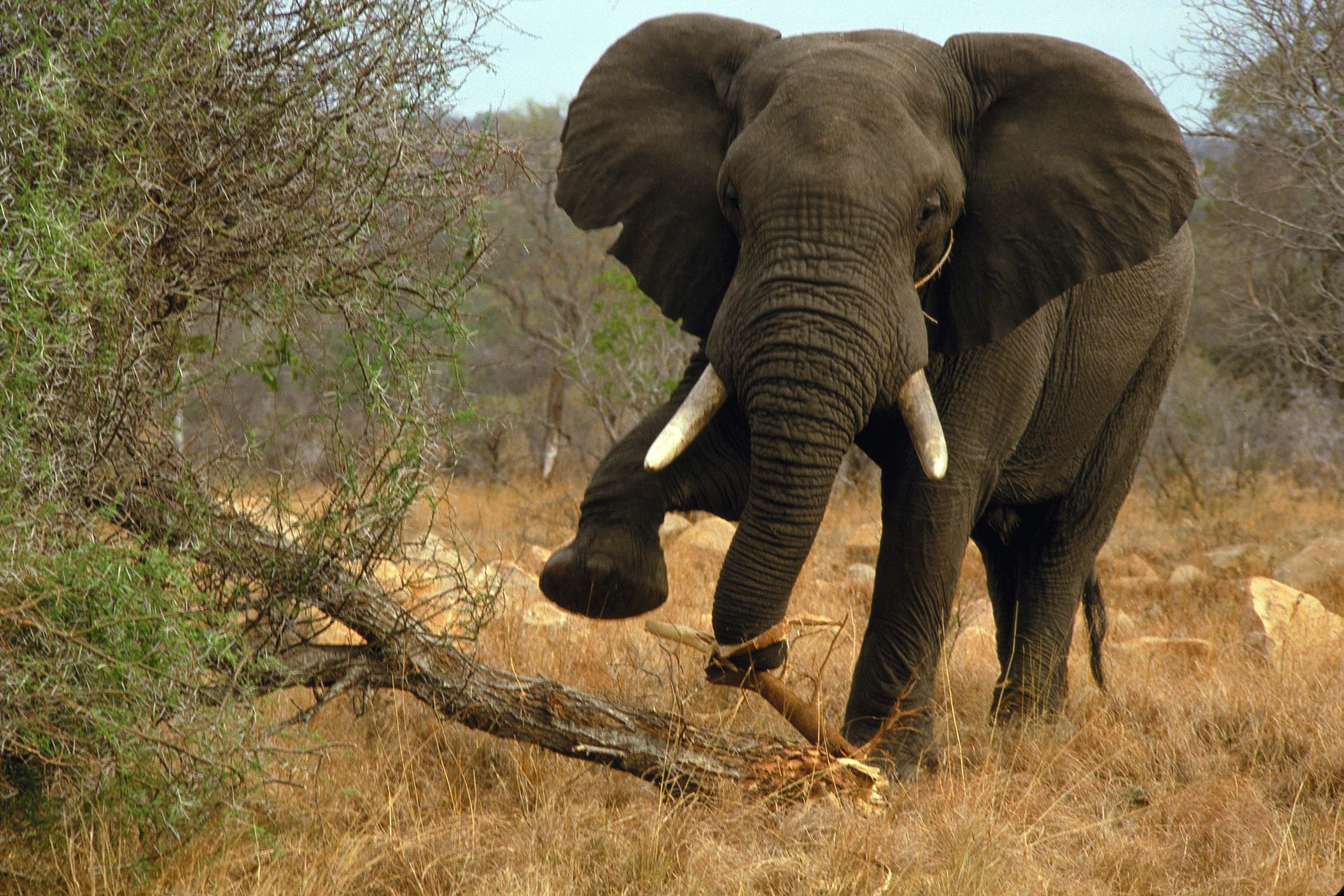 Elefante en Parque Kruger en Sudáfrica en silla de ruedas