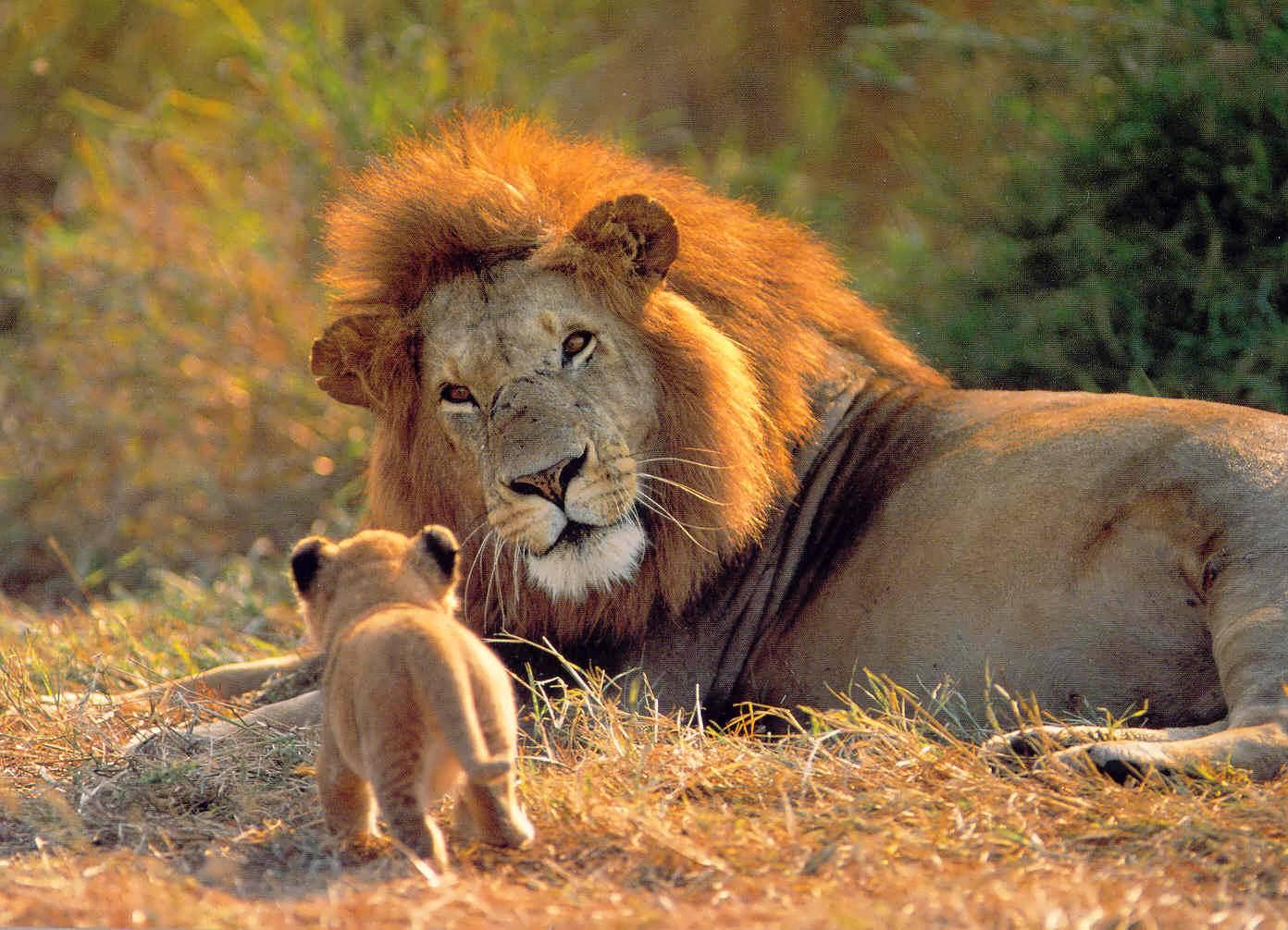 Leones en Parque Kruger en Sudáfrica accesible